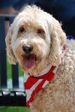 A beige Goldendoodle dog smiling with a flag scarf. Royalty Free Stock Images