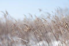 Beige Gras an einem freien Winter-Tag Stockfotografie