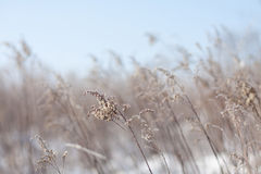 Beige Grass on a Clear Winter Day Stock Photography