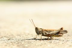 Beige Grasshopper Royalty Free Stock Image