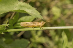 Beige grasshopper Stock Photos