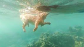 Beige hond, Labrador, vlotters in het overzees onder koraalriffen Mening onder het water stock video