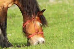 Beige horse grazing, portrait Stock Photos