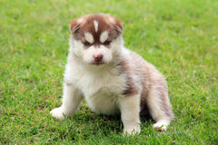 Beige husky puppy royalty free stock image