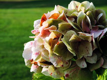 The beige hydrangea. On a green background Stock Images