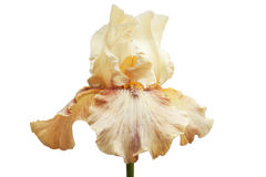 Beige Iris mit dunklen Adern und orange Herzen, auf einem grünen Stamm, Weiß lokalisierte Hintergrund Lizenzfreie Stockbilder