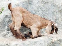 Beige jong geitje bij rots. Vrijheid Stock Afbeelding