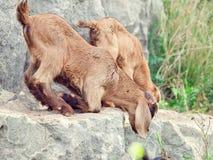 Beige jonge geitjes bij rots. Vrijheid Stock Fotografie