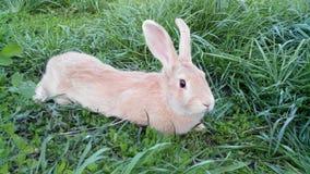 Beige Kaninchen Stockbild