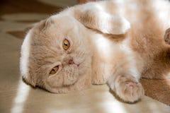 Beige kat lyinig op het tapijt Stock Afbeelding