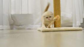 Beige kattunge som spelar med en leksak och skrapa arkivfilmer