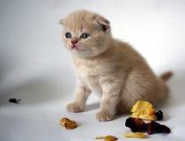beige kattungepetalsro Royaltyfri Bild