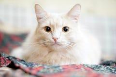 Beige Katze Lizenzfreies Stockbild