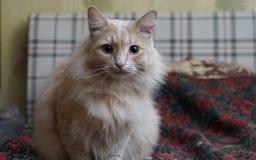 Beige Katze Stockbilder
