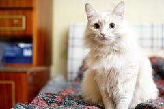 Beige Katze Stockfotografie