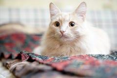 Beige Katze Lizenzfreie Stockfotos