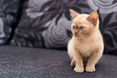 Beige kitten. Sitting on gray sofa at home Stock Photos
