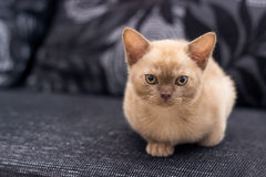Beige kitten. Sitting on gray sofa at home royalty free stock photos