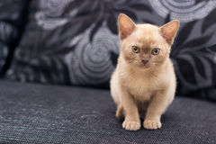 Beige kitten. Sitting on gray sofa at home Royalty Free Stock Images
