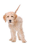 Beige Labradoodle dog Royalty Free Stock Photo