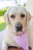 Beige Labrador Decorated With Pink Scarf Royalty Free Stock Photography
