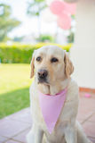 Beige Labrador Decorated With Pink Scarf Stock Image