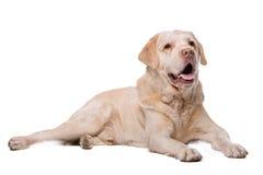 Beige Labrador dog Royalty Free Stock Image