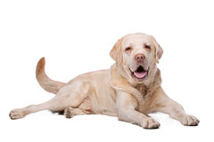 Beige Labrador dog Stock Photo