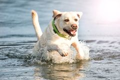Beige labrador the dog swims. In the water stock photo
