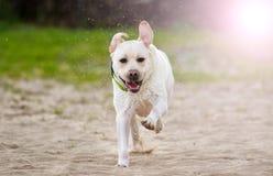 Beige labrador hundspring arkivfoto