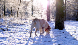 Beige labrador sniffing the snow. Portrait of a beige labrador sniffing the snow in the forest at a sunny day in winter Royalty Free Stock Photo
