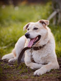 The beige large not purebred dog. Stock Photo