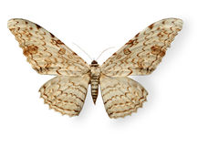 Beige leopard butterfly isolated on white Stock Photo