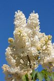 Beige lilac against blue sky Royalty Free Stock Photos