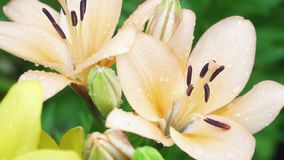 Beige Lily Flowers with Rain Drops on Petals Growing in Garden. Beauty and Freshness stock video
