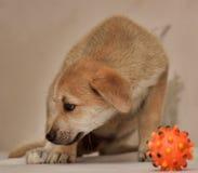 Beige met rood leuk puppy en een stuk speelgoed Royalty-vrije Stock Afbeelding
