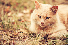Beige Peachy Mixed Breed Domestic Adult Cat Lazy Looking Aside T Royalty Free Stock Photography