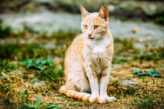 Beige Peachy Mixed Breed Domestic Adult Cat Lazy Looking Aside T Royalty Free Stock Photos