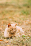 Beige Peachy Mixed Breed Domestic Adult Cat Lazy Looking Aside Stock Images