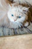 Beige persisk katt Fotografering för Bildbyråer