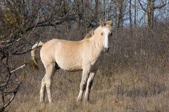 Beige Pferd im Holz Lizenzfreies Stockfoto