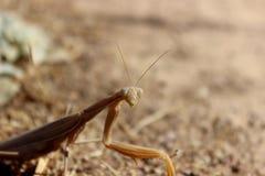 Beige Praying Mantis on a Dirt Path. Closeup of a beige praying mantis on a dirt path Stock Photography