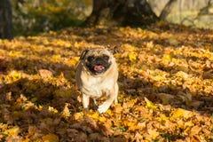 Beige pug running through autmn leaves stock photography