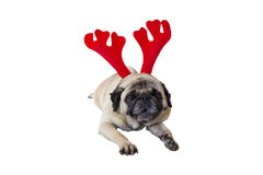 Beige Pug Wearing Christmas Attire 5 Royalty Free Stock Photo