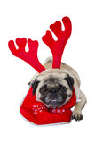 Beige Pug Wearing Christmas Attire 1 Royalty Free Stock Image