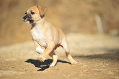 Beige puppy. The small brown amusing puppy frolicing in the street Stock Images