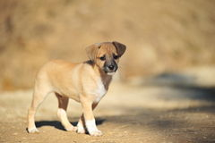 Beige puppy Stock Photo