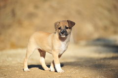 Beige puppy. The small brown amusing puppy frolicing in the street Stock Image