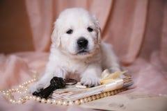 Beige puppy Golden Retriever. Puppy Golden Retriever lying on beige organza Stock Photography