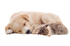 Beige puppy and kittens Stock Image